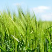 Zielony jęczmień – bomba witaminowa dla organizmu